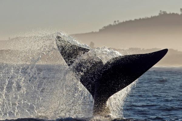 gros plan sur une queue de baleine australe dans l'océan