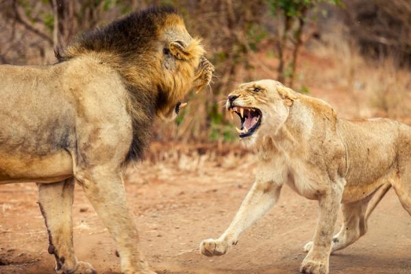 scène animalière : un lion face à une lionne tous deux rugissant