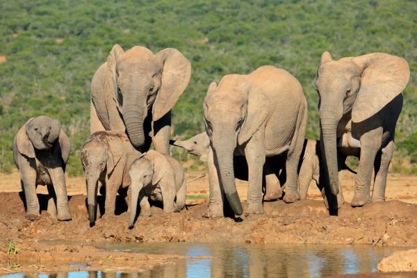 éléphants et éléphanteaux en train de s'abreuver