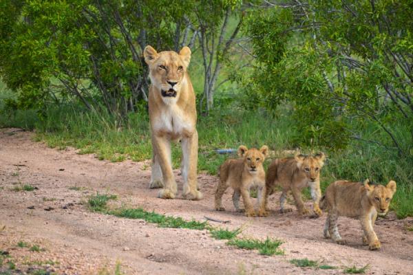 une lionne et ses trois petits se baladent sur une piste sablonneuse