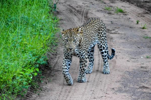 un léopard trace sa route sur les pistes du sabi sand