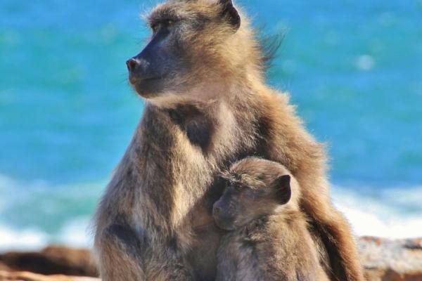 Un babouin bébé installé sur le ventre de sa mère avec au dos la mer