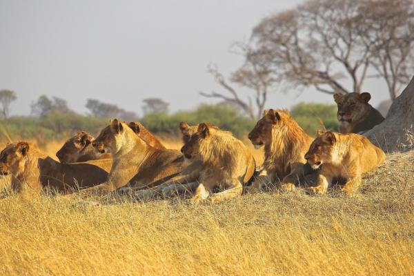 Au pied d'un arbre, une famille de lions se prélasse dans la brousse