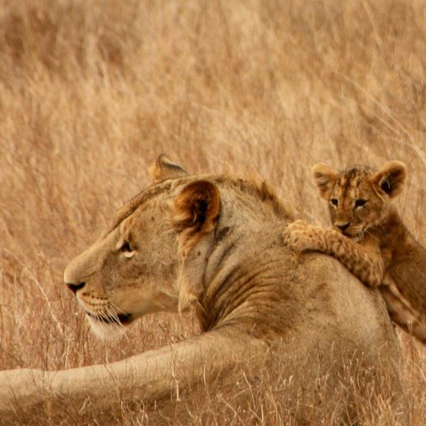 Allongés dans la végétation de la brousse, une lionne et son lionceau