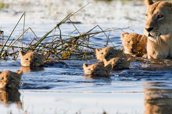 une lionne et ses lionceaux avançant dans les marécages du botswana