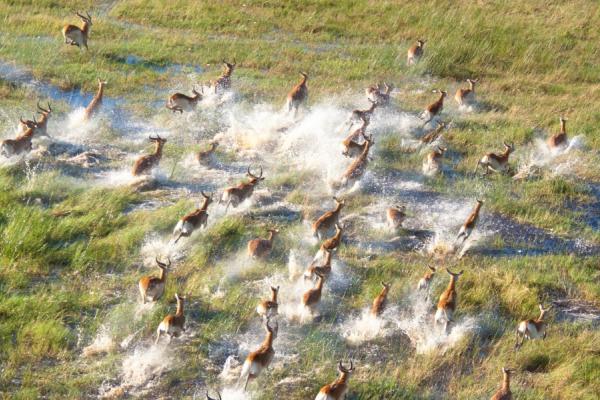 troupeau de springboks courant dans les marais et la savane herbeuse