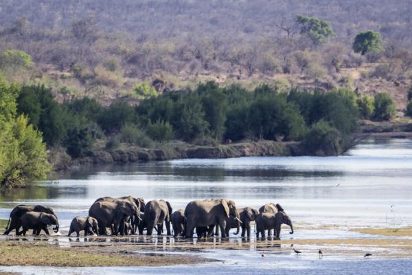 une dizaine d'éléphants dans l'eau au parc kruger