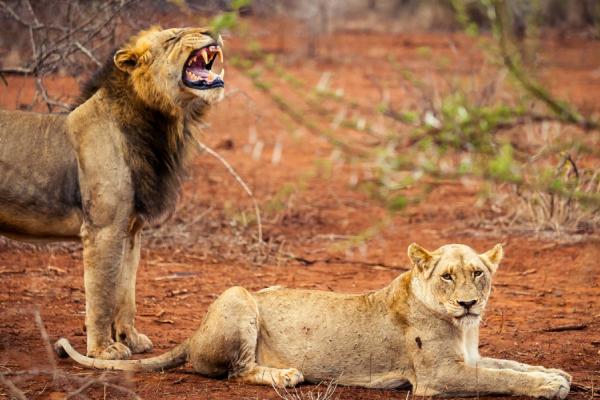 un lion debout rugissant à côté d'une lionne assise sur la terre ocre