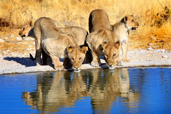 quatre lionnes dont deux face caméra en train de s'abreuver