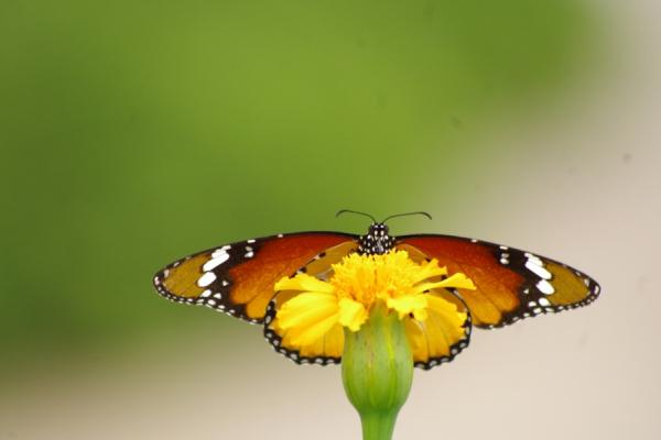 gros plan sur un papillon posée sur une fleur