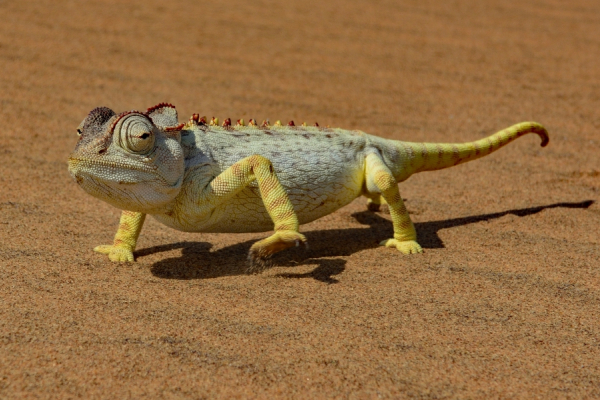 gros plan sur un caméléon évoluant sur un sol sec et sablonneux