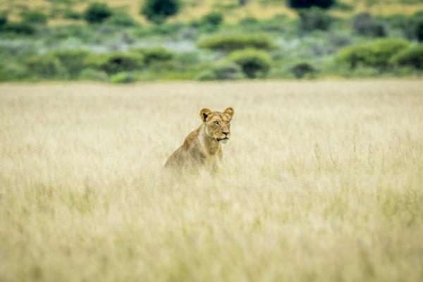 une lionne cachée dans les herbes de la brousse au parc de Kgalagadi