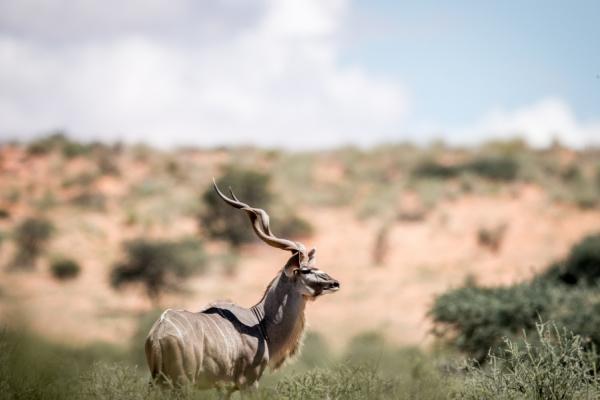 un mâle kudu de profil regarde l'horizon dans la brousse namibienne