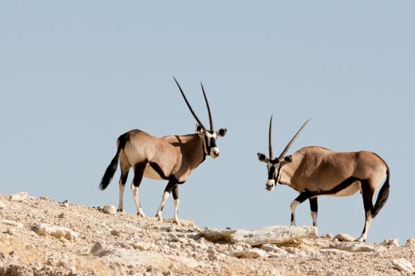 deux oryx, une espèce migratrice protégée par le parc de Kgalagadi