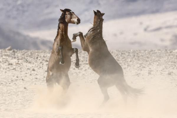 se tenant debout, deux chevaux sauvages chahutent ensemble