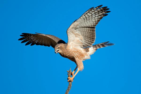 Par un ciel bleu, un faucon aux ailes ouvertes atterri sur une branche