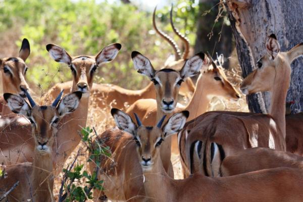 faune du botswana : quelques springboks face caméra