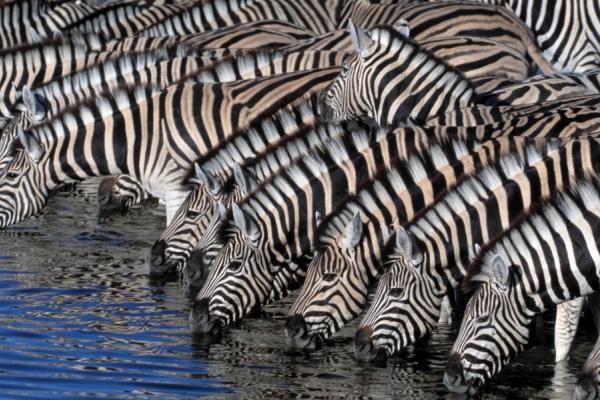 troupeau de zèbres venus s'abreuver à un point d'eau