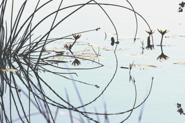la flaure du botswana et ses jeux de refletction sur l'eau