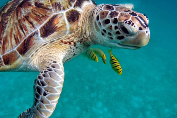 Gros plan sur une magnifique tortue de mer dans son milieu naturel