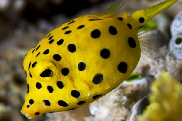 Un poisson coffre jaune évoluant dans les coraux du Mozambique