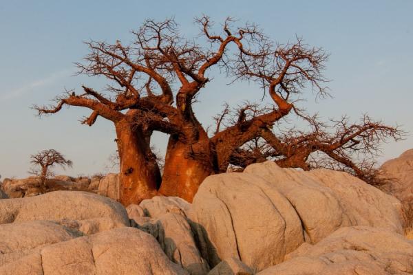 magnifique baobab flamboyant au coucher de soleil