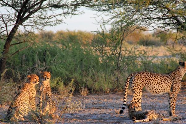 quatre guépards réunis dans la brousse du botswana