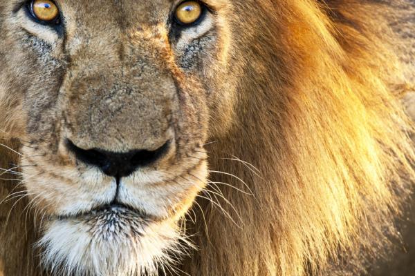 zoom sur l'un des big 5 : le majestueux lion et son regard sauvage