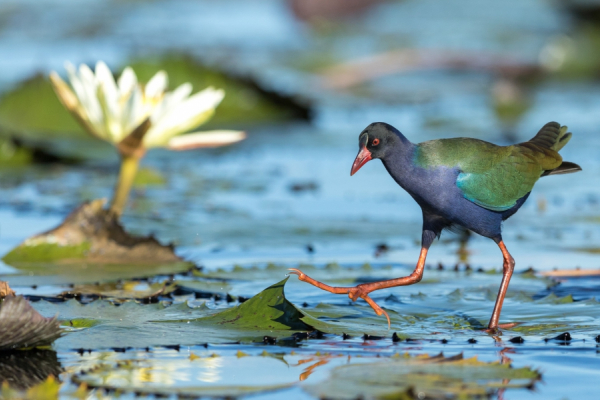 zoom sur l'oiseau des marécages du botswana, paradis des ornithologues