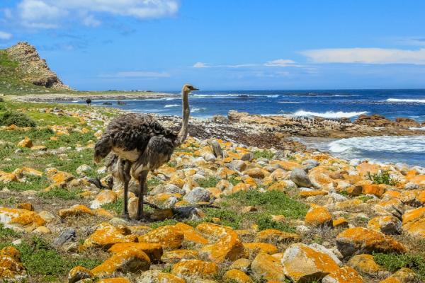 autruche fixant l'horizon avec pour décor la sublime péninsule du Cap