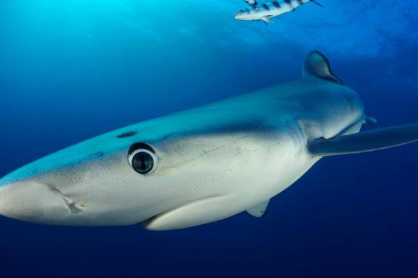 gros plan sur la tête d'un requin mako