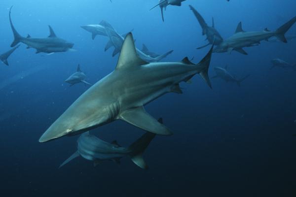une dizaine de requins bordés évoluent dans leur milieu naturel