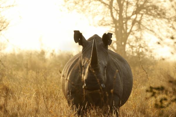 un rhinocéros de face fixe l'objectif lors d'un safari à hluhluwe