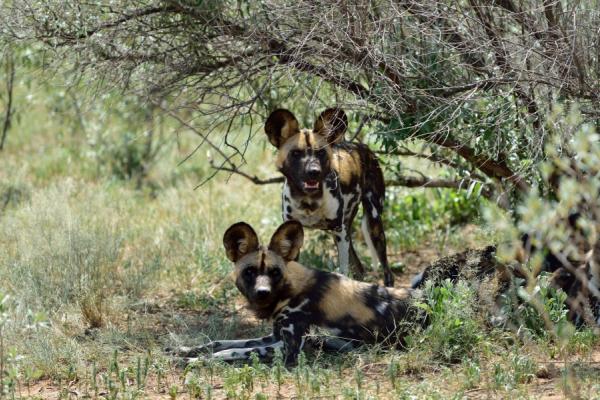réserve naturelle d'hluhluwe : deux lycaons se reposent sous un arbre