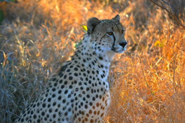 profil d'un guépard dans la brousse