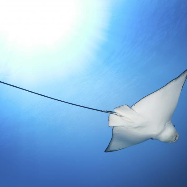 en contre-plongée : une raie manta dans l'océan, proche de la surface