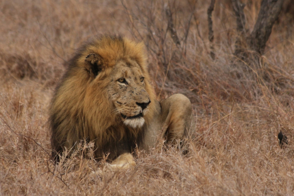 gros plan sur le roi : un lion majestueux assis dans la brousse