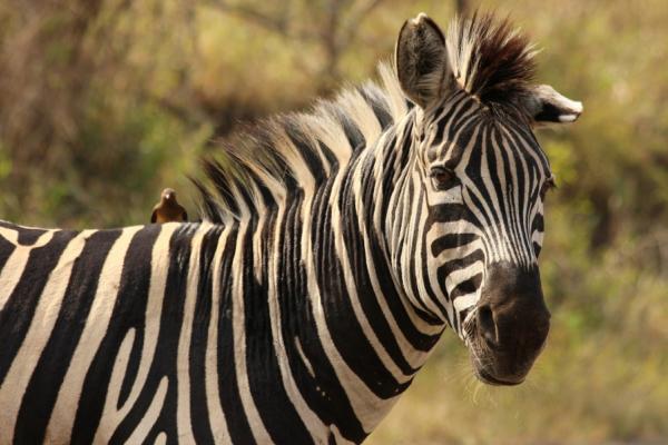 gros plan sur un zèbre lors d'un safari dans la réserve de Hluhluwe
