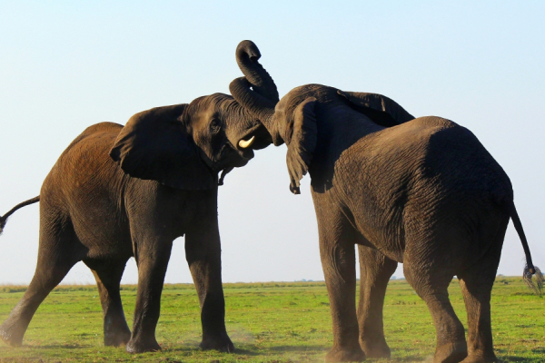 Trompe contre trompe, deux majuesteux éléphants s'amusent au botswana