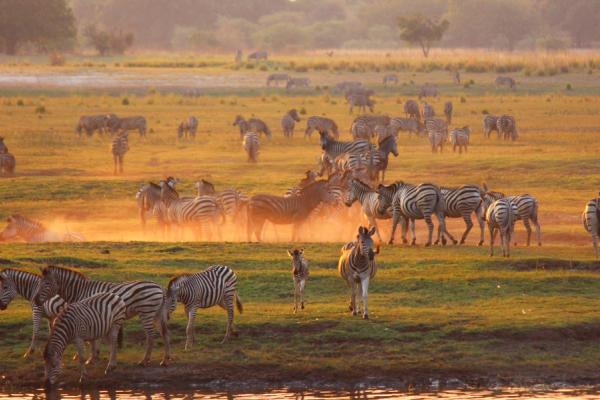 Au parc de Chobe, un magnifique troupeau de zèbres venu s'abreuver
