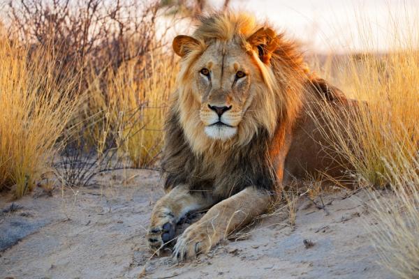 De face, un somptueux lion assis sur le sable du désert du Kalahari