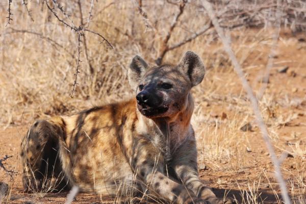 Une hyène se détend à l'ombre de la végétation aride du kalahari