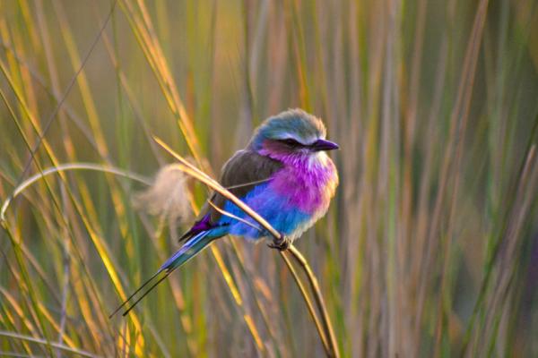 Un magnifique rollier multi couleur, oiseau emblématique du botswana