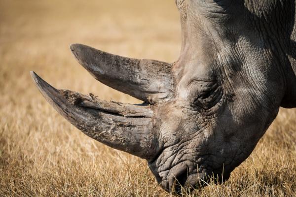 De profil, gros plan sur la tête d'un rhinoceros en train de brouter