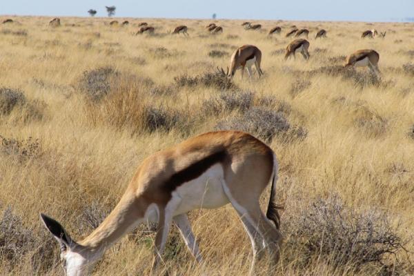 Des springboks broutent dans la végétation aride du désert du Kalahari