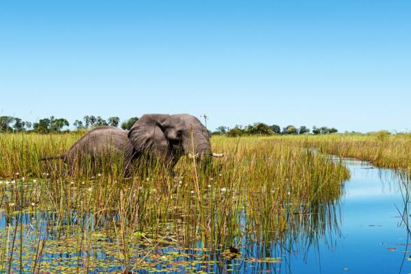 Un éléphant en balade dans les plaines inondées de l'Okavango