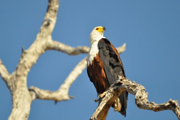 Sur une branche, un sublime Pygargue Vocifère ou aigle pêcheur