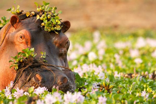 La tête d'un hippopotame dans l'eau recouvert par la flore du Zambèze