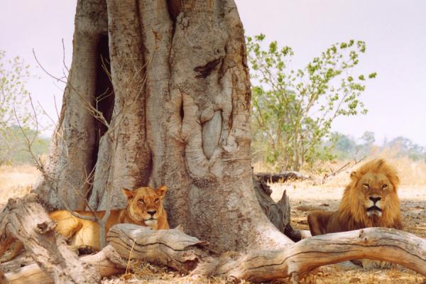 Un couple de lion se détend à l'ombre d'un arbre aux grandes racines