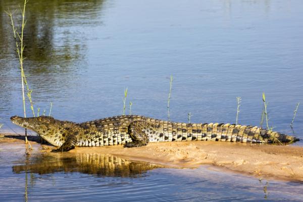 Sur une petite rive entourée d'eau, un crocodile de l'Okavango